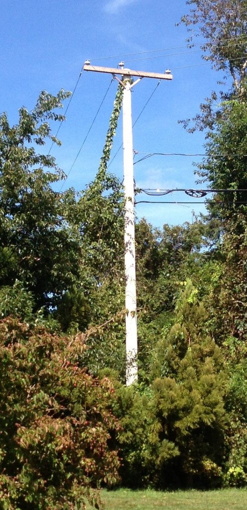 "The ""Guilty"" Power Pole - Observe the Ivy Growing Up the Guy"